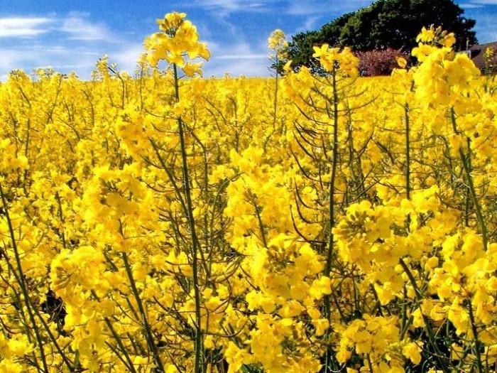 Oilseed rape crops
